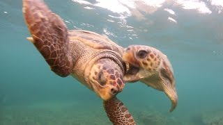 Download In-water behaviour of the loggerhead sea turtle Video