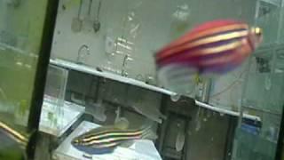 Download Adult Zebrafish Eating Video