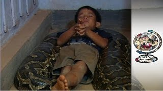Download The Cambodian Boy Who Sleeps with a Python Video