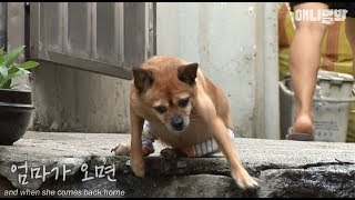 Download This dog Bada can only walk with its front legs.. Video