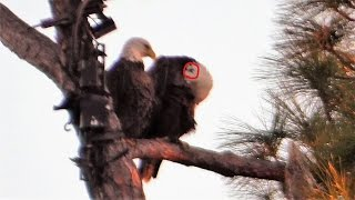Download Harriet's Heart Is Prominent On Egg Laying Day 11-22-16 Video