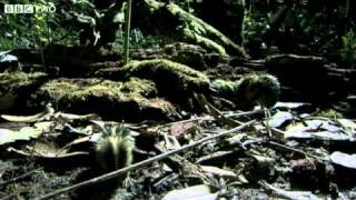 Download Madagascan Tenrecs Use Quills To Communicate - Madagascar, Lost Worlds, Preview - BBC Two Video