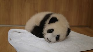 Download Abandoned baby panda - Operation Wild: Episode 1 Preview - BBC One Video