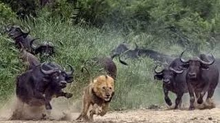 Download Dangerous African Cape Buffalo (Black Death) - attacks & kills Lions in Africa Video