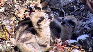 Download Brunch for the chicks at Hog Island Ospreys. 09.43 / 09 June 2018 Video