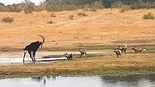 Download Painted wild dogs attacking a Sable antelope Video