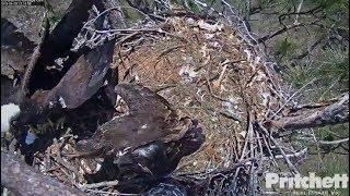 Download SWFL Eagles ~ Eagles Overboard ~ E11 Knocks M & E10 Off Nest w/ SLO MO 4.25.18 Video