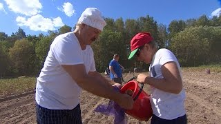 Download Лукашенко с младшим сыном убрал урожай картофеля и бахчевых в резиденции ″Дрозды″ Video
