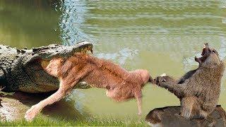 Download LIVE: Big mistake of TIGER when hunting the Giant ANACONDA! Tiger vs Anaconda, Hyena vs Lion Video