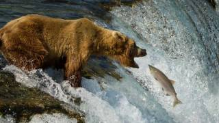 Download Grizzly Bears of Katmai National Park, Alaska 1080P Video