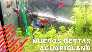 Download Nuevos bettas || ACUARIOLAND Video