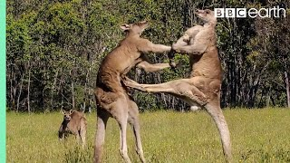 Download Kangaroo Boxing Fight | Life Story | BBC Video