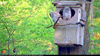 Download Oldest Owlet Branches, Returns To Nest Box – May 7, 2018 Video