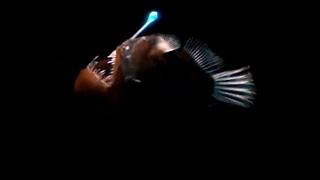 Download Strange Bioluminescing Deep Sea Animals - Blue Planet - BBC Earth Video