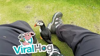 Download Friendly Puffin Approaches Photographer || ViralHog Video