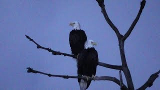 Download SWFL Eagles H & M Together In The OCT~Bonding In The Attic & Adding Sticks 10-12-18 Video
