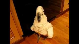 Download Cockatoo Flips Out on Roommate for Not Cleaning Dishes Video