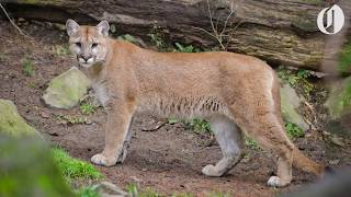 Download Oregon's first known fatal cougar attack in the wild Video
