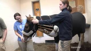 Download Burned horse recovers with help of Ohio State vets Video