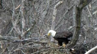 Download Eagle Nest Building Video