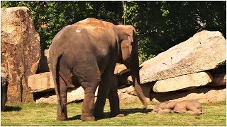 Download This Momma Elephant Was Frantically Trying To Wake Up Her Baby – So Keepers Sprang Into Actionn Video