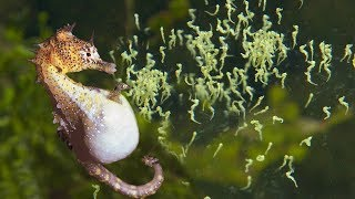 Download Beautiful Images Of Male Seahorse Giving Birth | Animals Giving Birth Video