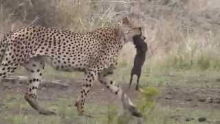 Download Two Cheetahs kill 2 wart hog babies Video