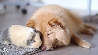 Download Dog And Guinea Pig Are Unlikely Best Friends Video