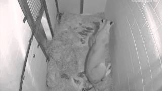 Download Live Lion Cub Births March 2, 2014 (Viewer Discretion Advised) Video