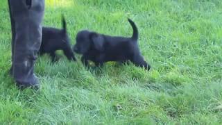 Download Miniature Labradoodle Puppies For Sale Jacob Stoltzfus Video
