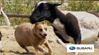 Download City Dogs Try Herding Sheep For The First Time // Presented By BuzzFeed & Subaru Video