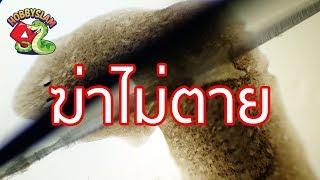Download [ พิสูจน์ 😅 ] ส่องสัตว์อมตะ ยิ่งหั่น ยิ่งงอก ! ส่องพลานาเรีย - Hobbyslam Video