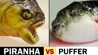 Download Piranha Scissors vs. Puffer Fish Slicers Video
