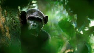 Download Fire of chimpanzees   Crickette Sanz & Dave Morgan   TEDxGatewayArch Video