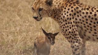 Download [!!Shaky Video!!] Cheetah playing with baby gazelle before eating it Video