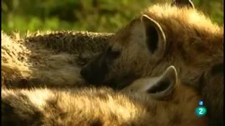 Download Grandes documentales La hiena, la reina del Masai Mara Video