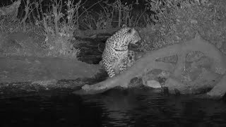 Download Djuma: Leopard-Tlalamba female gets drink from the pan - 18:43 - 09/23/19 Video