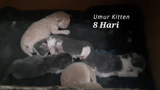 Download Pertumbuhan Anakan Kucing Persia 1 - 14 Hari (After 2 Week) Video