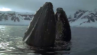 Download Whales And Seals Feast On Krill   Blue Planet   BBC Earth Video