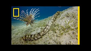 Download This Bizarre Sea Creature is Snake-like and Has Tentacles   National Geographic Video