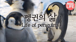 Download Life of penguins - Tears of the Antarctic EP01, #02, 얼음대륙 남극의 주인인 펭귄의 삶 Video