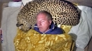Download Man Uses A Live African Cheetah As A Pillow - Measures Big Cats Heart Rate With His Head Video