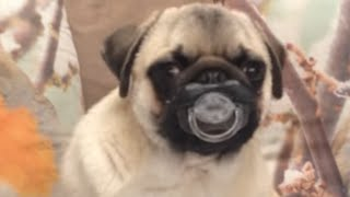 Download 30 Incredible Pug Videos Video