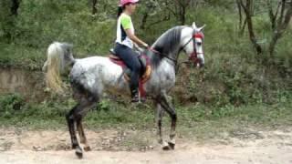 Download Cavalo Arabe Serial Killer muito bravo com as éguas Arabian Horse Video