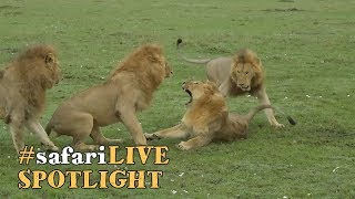 Download Male lions and the life of a coalition. Video