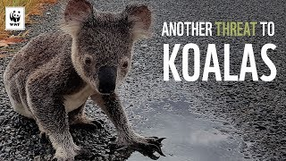 Download Another Threat to Koalas | WWF-Australia Video