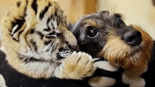 Download Cute Unlikely Animal Couples Compilation 2014 Video