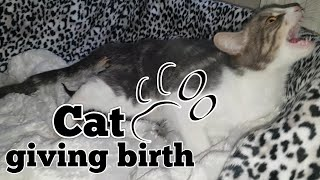 Download CAT GIVING BIRTH. THE 3 STAGES OF CAT BIRTH. ASMR STYLE. Video
