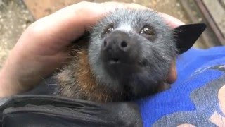 Download Juvenile bat squeaks while being petted. Video