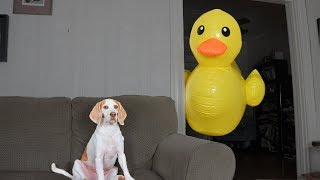 Download Dog vs Giant Rubber Ducky Prank: Funny Dog Maymo Video